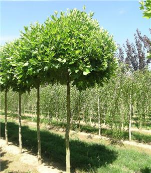 Platanus Acerifolia Alphen´S Globe ht 16 18