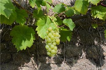 Vitis vinifera Perle de Zala Pot 11