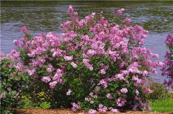 Syringa BLOOMERANG® Dark Purple Pot C4