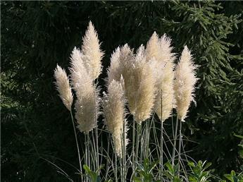 Cortaderia selloana 120/+ Pot P29 - C10L