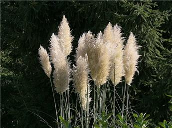 Cortaderia selloana (Blanc) P23