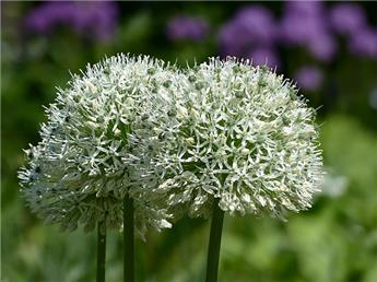 Allium White Giant C4