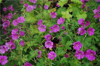 Geranium riversleaianum Russel Prichard  Pot 11