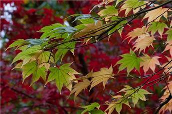 Acer palmatum 150 175  cm Pot