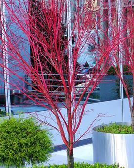 Acer palmatum Sangokaku 80 100 cm Pot C6