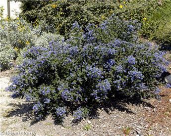 Ceanothus Blue Sensation Pot C3