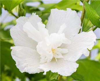 Hibiscus syr White Pillar Pot c5