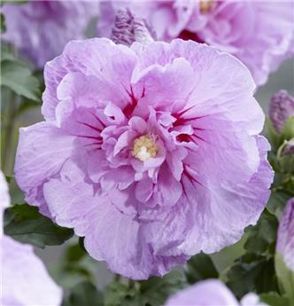 Hibiscus syr Lavender Chiffon Pot C3.6