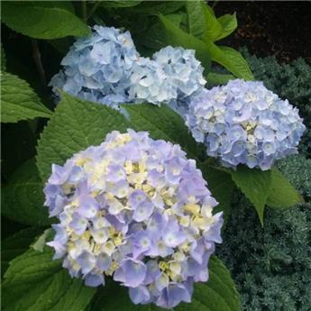 Hydrangea mac Ankong bleu c10