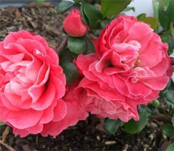 Chaenomeles speciosa Pink Storm Pot C10