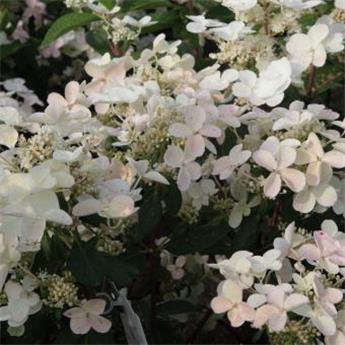 Hydrangea paniculata Early Sensation Pot C7.5L