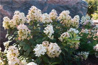 Hydrangea paniculata Tickled Pink ® Pot C10