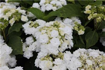 Hydrangea macrophylla Doppio Bianco Pot C5L