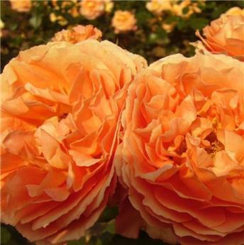 Meilove Orange tige 110 cm P24