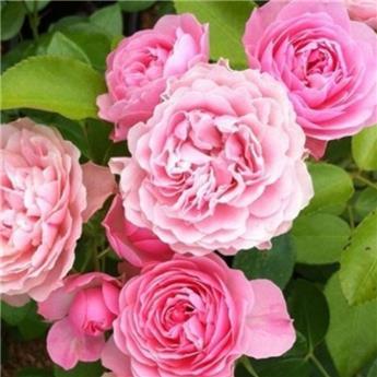 Rosier Meilove Rose tige 60