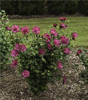 Hibiscus syriacus Magenta Chiffon Pot C3.6