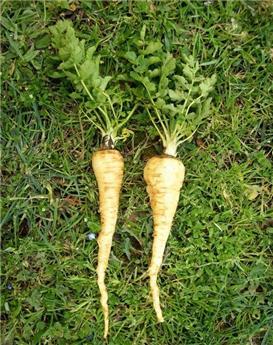 Pastinaca satica subsp. Sativa Gros pot