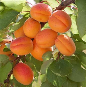 Abricotier Prunus armeniaca Flavourcot® Buisson 100 125 Pot C5