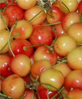Bigarreau Blanc Rose Buisson ** prêt à produire**