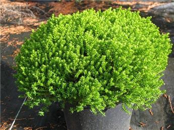 Hebe Emerald Green Pot P13 - C1L
