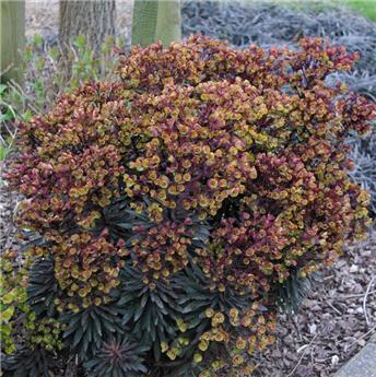 Euphorbia amygdaloides Purpurea P19