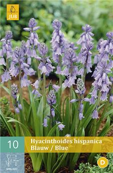 Hyacinthoides hispanica Bleu 5 PC / POT