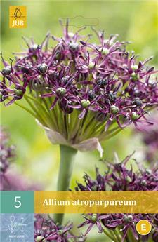 Allium Atropurpureum 10/+ X 5 pc