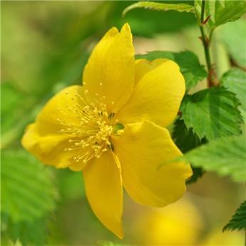 Kerria japonica Golden Guinea Pot C5