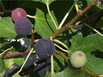 Ficus carica Violette Normande Pot C5,5l