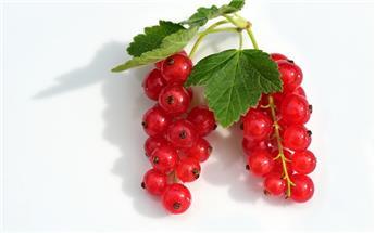 Groseillier grappes rouges Junifer C2L ** Variété précoce et productive **
