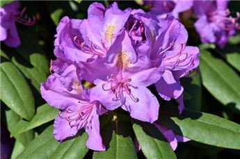 Rhododendron Catawbiense Grandiflorum 60 80 Pot C12