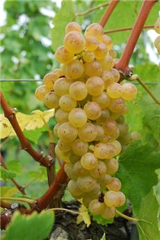Vitis vinifera Chasselas Dore Pot C5