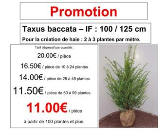 Taxus baccata 100 125 motte