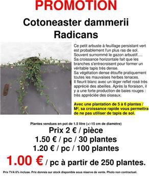 Cotoneaster dammeri Radicans promo