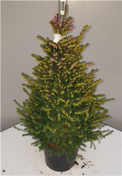 Erica darleyensis Pyramide Pot 15 cm