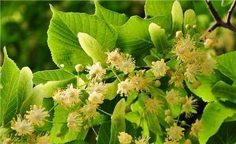 Tilia platyphyllos Haute Tige 08 10  ** Parfumé **