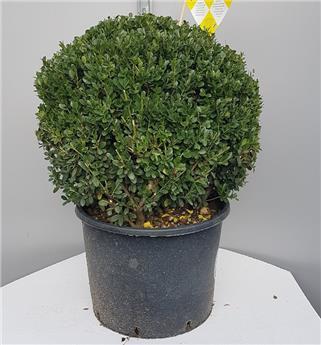Ilex crenata Dark Green boule 40 Pot C15