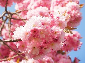 Prunus serrulata Kanzan demi tige