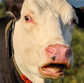 Fumier Vache desséché 20 kg Sani
