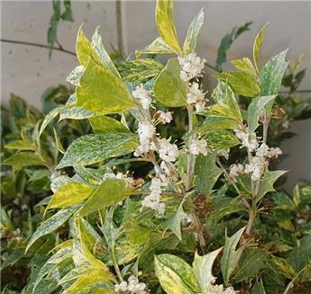 Osmanthus heterophyllus Tricolor Pot C35
