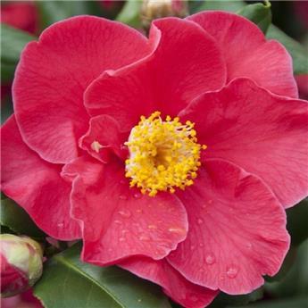 Camellia japonica Dr King 10 ans 100 120 cm