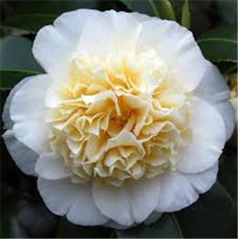 Camellia japonica (Blanc) 80 100 cm Pot C10L