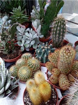 Plante grasse cactus p8.5