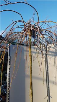 Salix Caprea Kilmarnock Tige 150 cm Pot XL