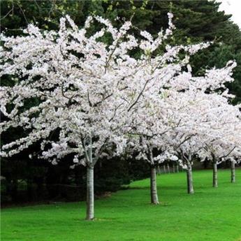 Prunus yedoensis ht 14 16 mg