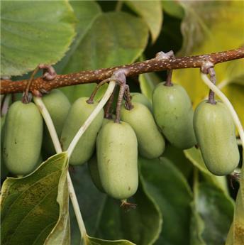 Actinidia arguta Super Jumbo kiwai Femelle