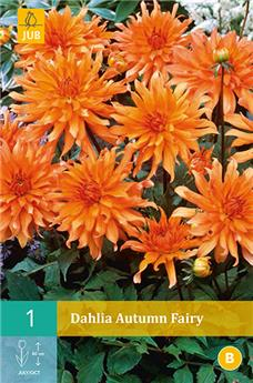 Dahlia Autumn Fairy * 1 Pc