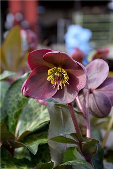 Helleborus Pippa´s Purple Pot P15