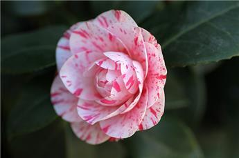 Camellia hyb. Gay Baby Pot C7.5 ** 7 ans **