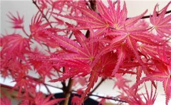 Acer palmatum Phoenix 125 150 Pot C35